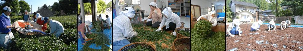 バタバタ茶の生産の様子
